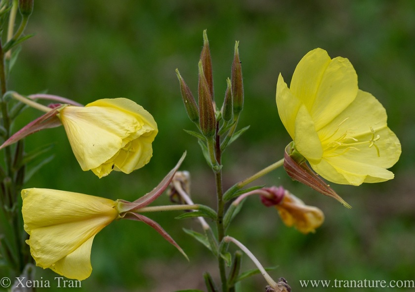 evening primrose flowers and buds in a forest