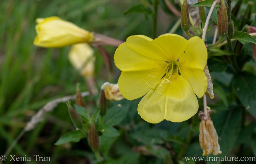 evening primrose flower with buds and wilted blooms