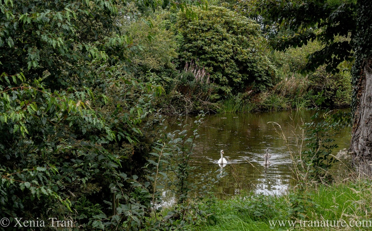 a swan and her two cygnets swimming towards the bank of a woodland pond