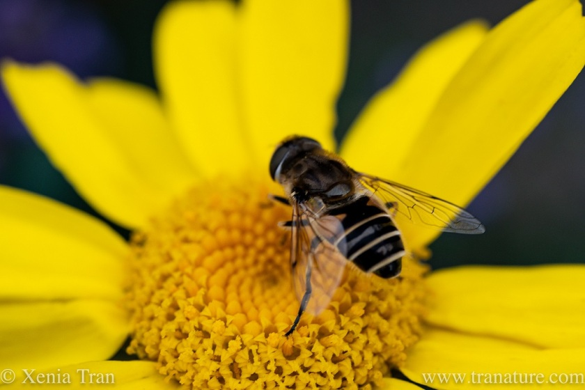 macro shot of a leafcutter bee on corn marigold