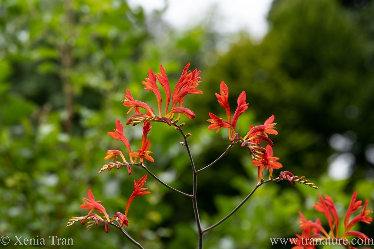 close up of crocosmia lucifer with blurred trees