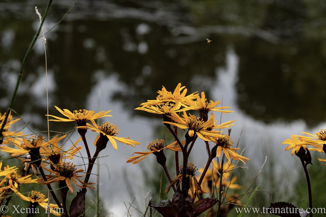 leopard plant in bloom by a pond