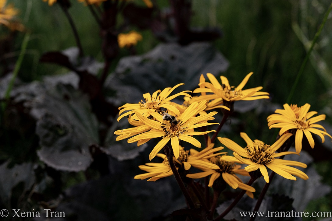 close up of a leopard plant in bloom with a bee feeding