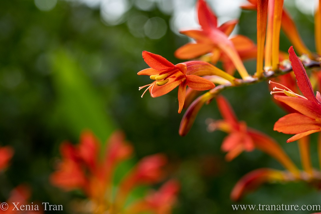 close up of open crocosmia lucifer flowers